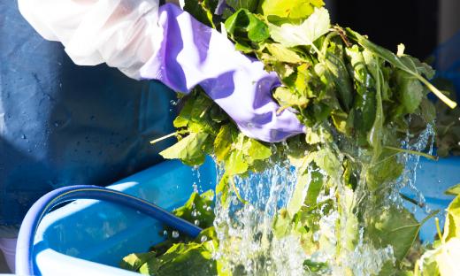 桑の葉を洗浄する