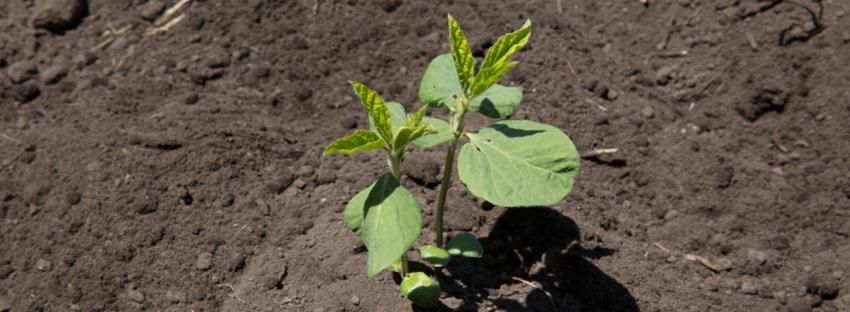 大豆を育てる