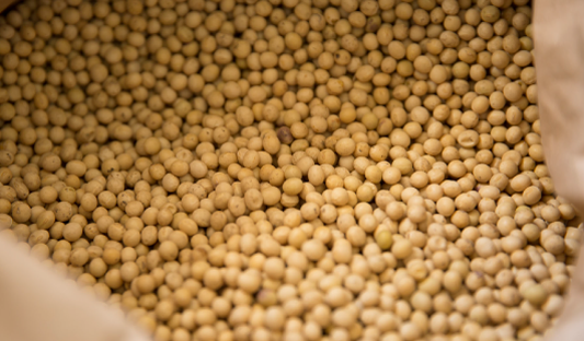 大豆を選ぶ