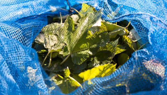 桑の葉を収穫する